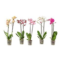 PHALAENOPSIS potted plant, Orchid, 2 stems assorted colours