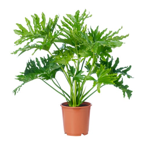 Philodendron Selloum Potted Plant Ikea