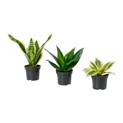 SANSEVIERIA potted plant, assorted