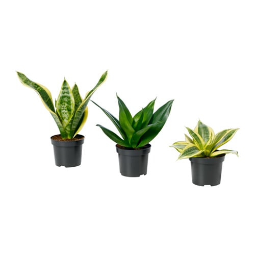 Sansevieria potted plant ikea for Ikea plantes