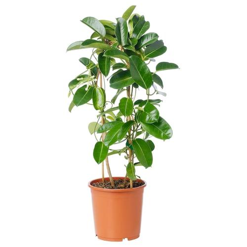 IKEA STEPHANOTIS Potted plant