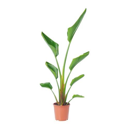 Strelitzia Potted Plant Ikea