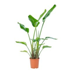 STRELITZIA potted plant, White bird of paradise