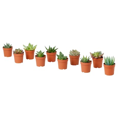 SUCCULENT Potted plant, assorted, 6 cm