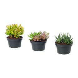 SUCCULENT potted plant, arrangement, assorted