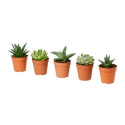 SUCCULENT potted plant, assorted