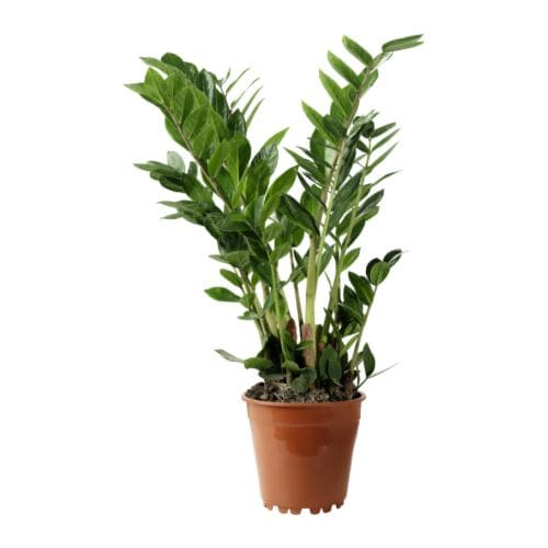 Zamioculcas potted plant ikea for Ikea plantes