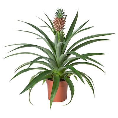 ANANAS Plante en pot, ananas, 12 cm