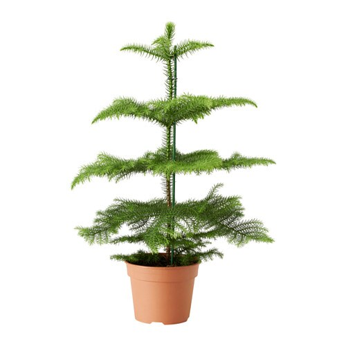 Araucaria plante en pot ikea - Ikea plante interieur ...