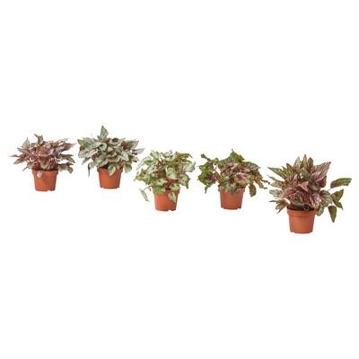 BEGONIA Plante en pot, 12 cm
