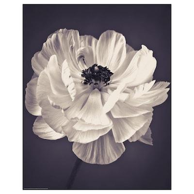 BILD Image, Renoncule, 40x50 cm
