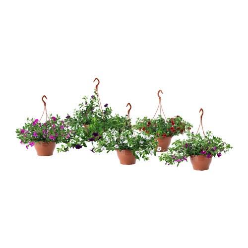 Calibrachoa Plante En Pot Ikea