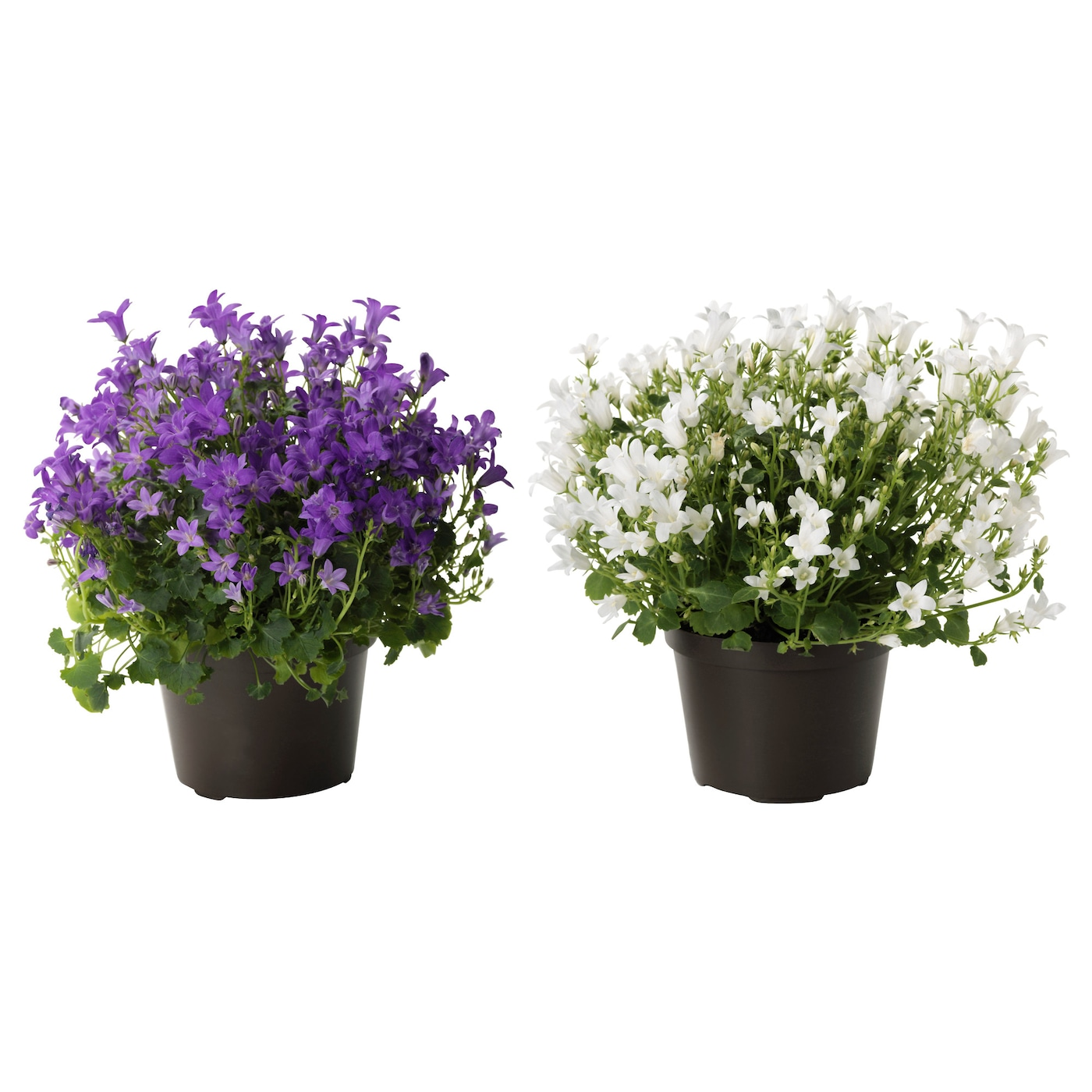 campanula portenschlagiana plante en pot campanule 10 5 cm ikea. Black Bedroom Furniture Sets. Home Design Ideas