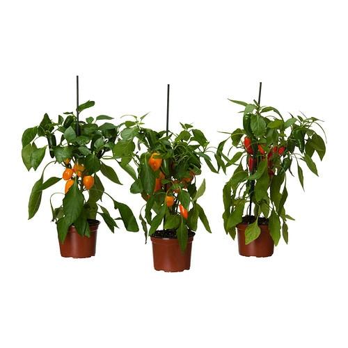Capsicum annuum plante en pot ikea for Plantes decoratives exterieur