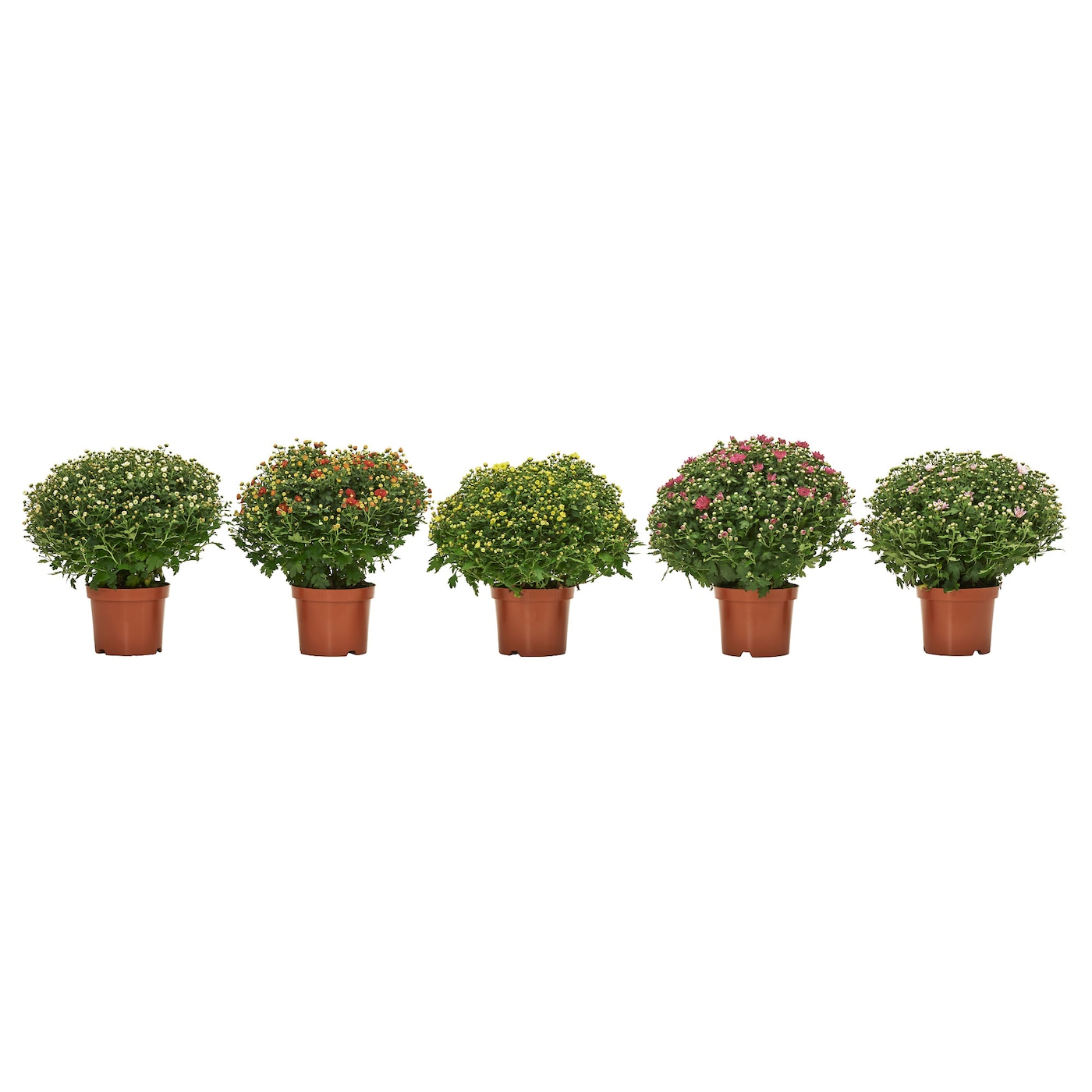 chrysanthemum plante en pot coloris assortis 17 cm ikea. Black Bedroom Furniture Sets. Home Design Ideas