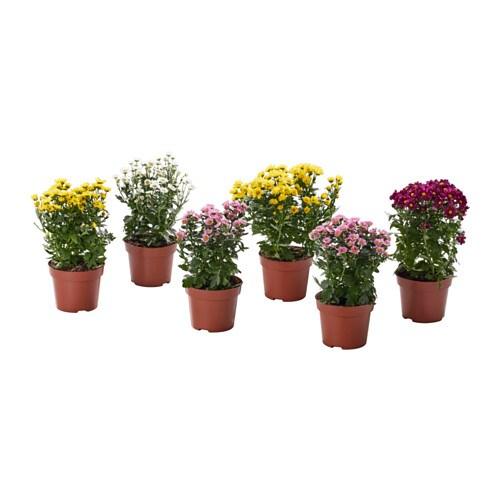 Chrysanthemum plante en pot ikea for Plantes decoratives exterieur