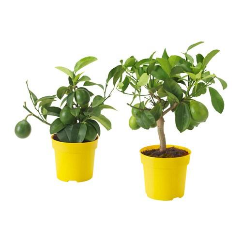 citrus plante en pot ikea. Black Bedroom Furniture Sets. Home Design Ideas