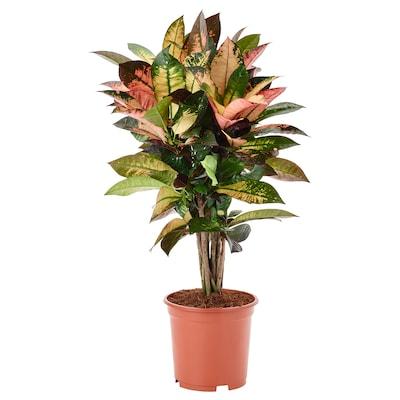 CODIAEUM Plante en pot, croton, 19 cm