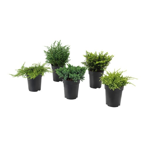 Conifermix plante en pot ikea for Plantes decoratives exterieur