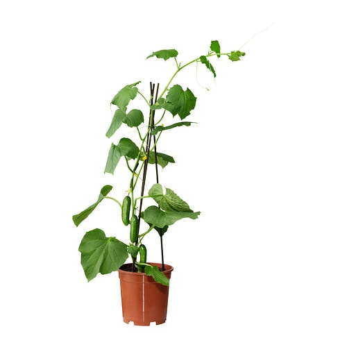 cucumis sativus plante en pot ikea. Black Bedroom Furniture Sets. Home Design Ideas