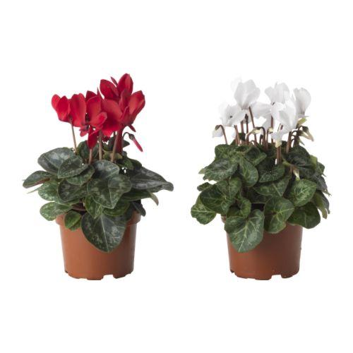 D coration et miroirs ikea - Arrosage cyclamen en pot ...