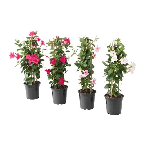 Dipladenia Plante En Pot Ikea
