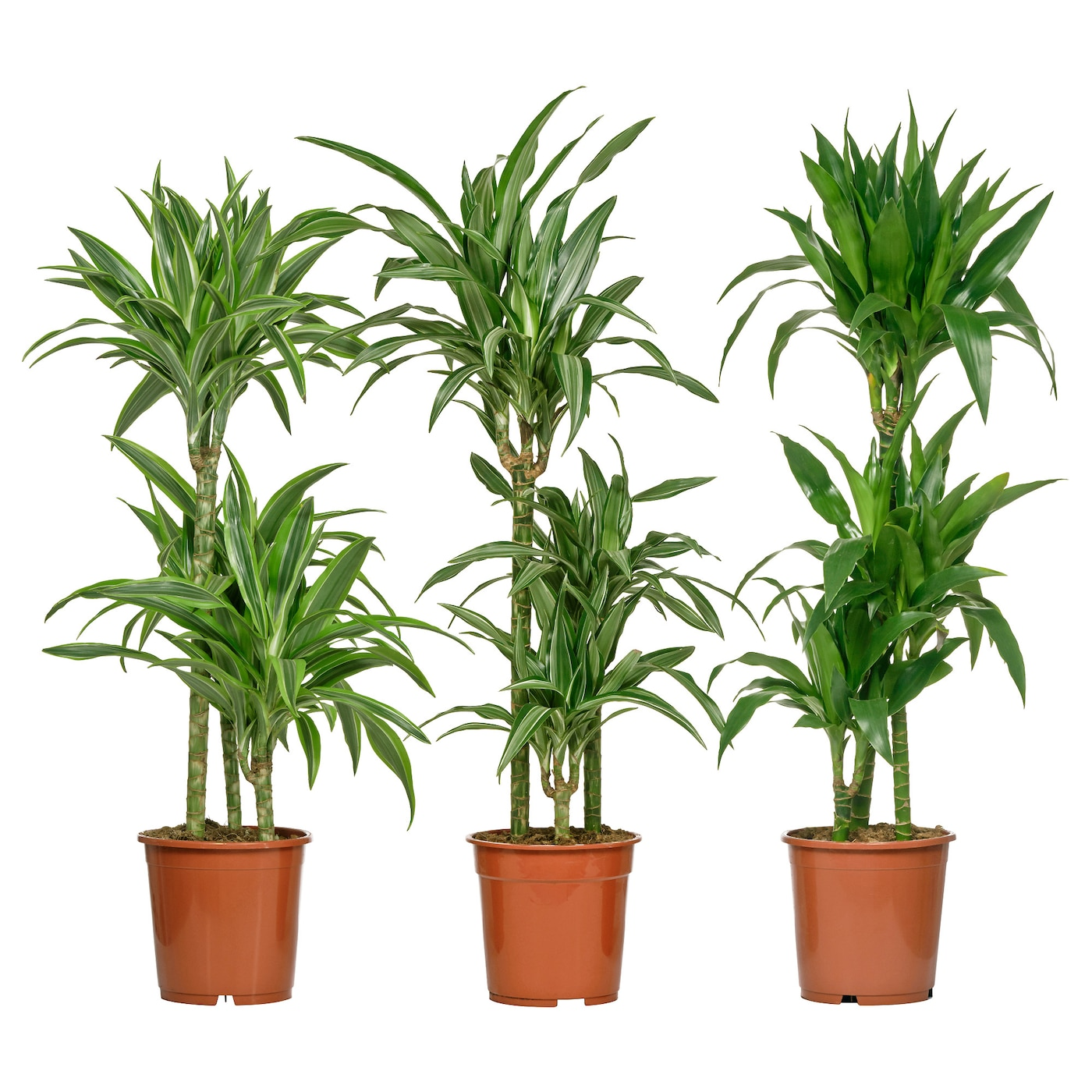 Dracaena deremensis plante en pot diverses esp ces 3 tiges for Plante en pot