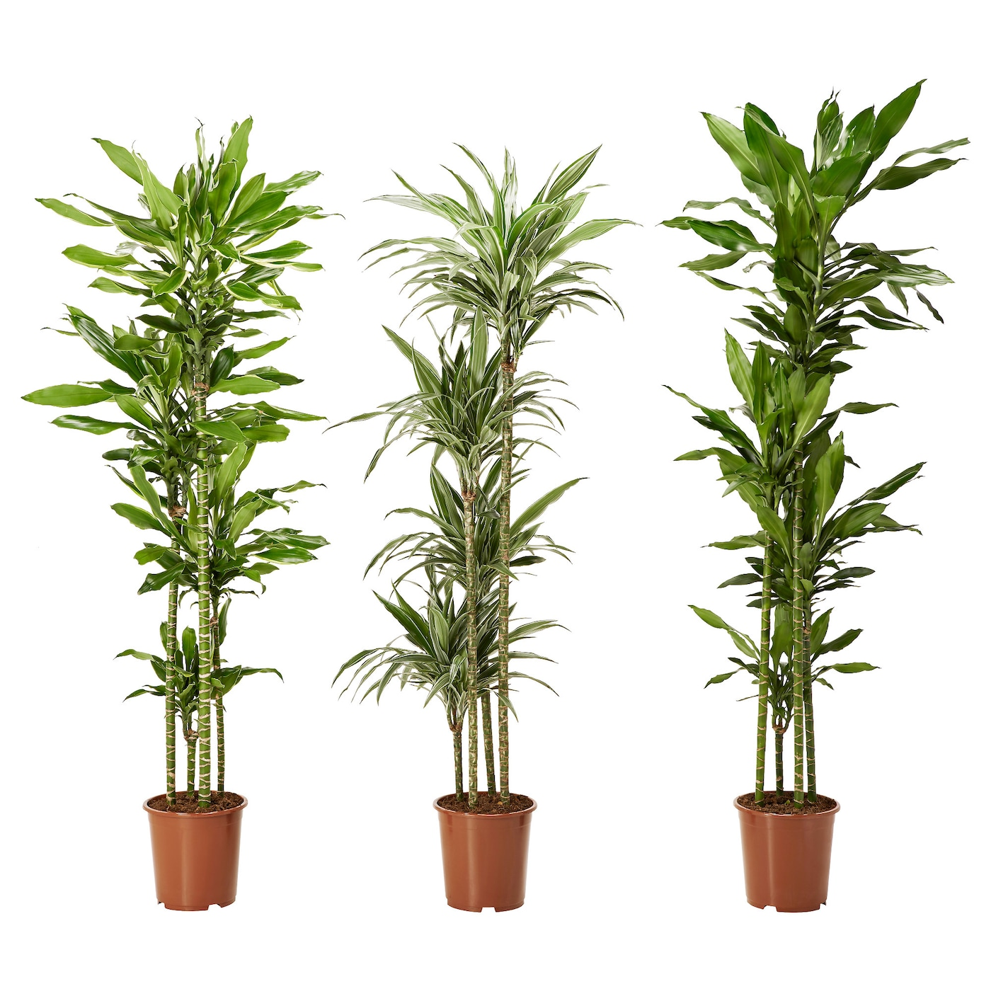 dracaena deremensis plante en pot diverses esp ces 27 cm. Black Bedroom Furniture Sets. Home Design Ideas