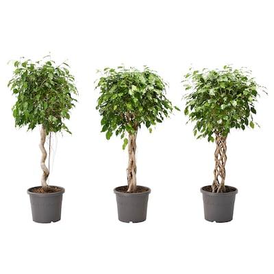 FICUS BENJAMINA Plante en pot, figuier pleureur/diverses espèces, 32 cm
