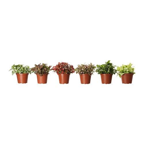 Fittonia Plante En Pot Ikea