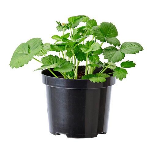 fragaria plante en pot ikea. Black Bedroom Furniture Sets. Home Design Ideas