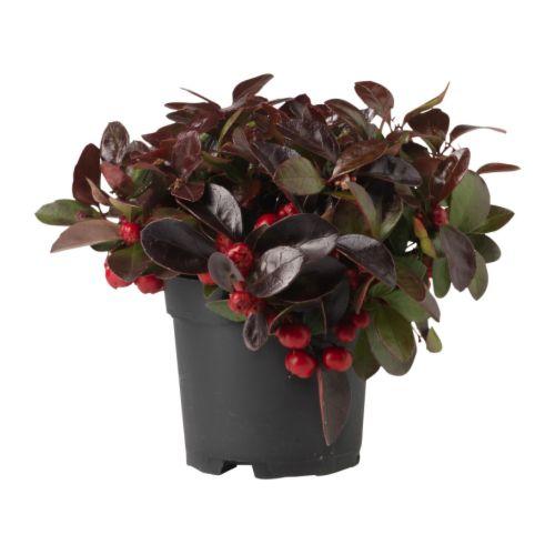 Gaultheria procumbens plante en pot ikea for Plantes decoratives exterieur