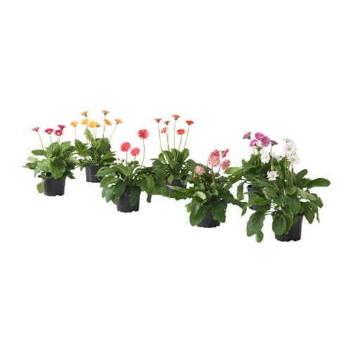 Gerbera plante en pot ikea for Plantes decoratives exterieur