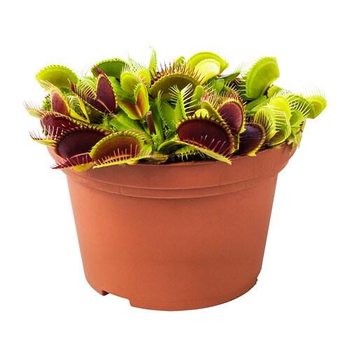 plante carnivore ikea entretien