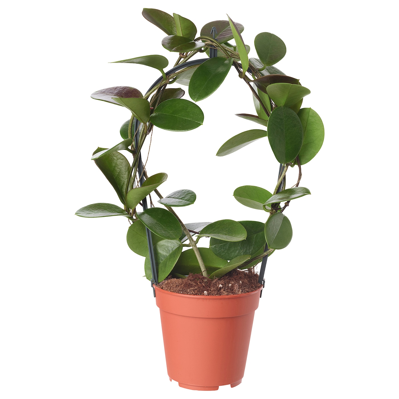 Hoya plante en pot hoyakerrii 12 cm ikea for Commande plante en ligne