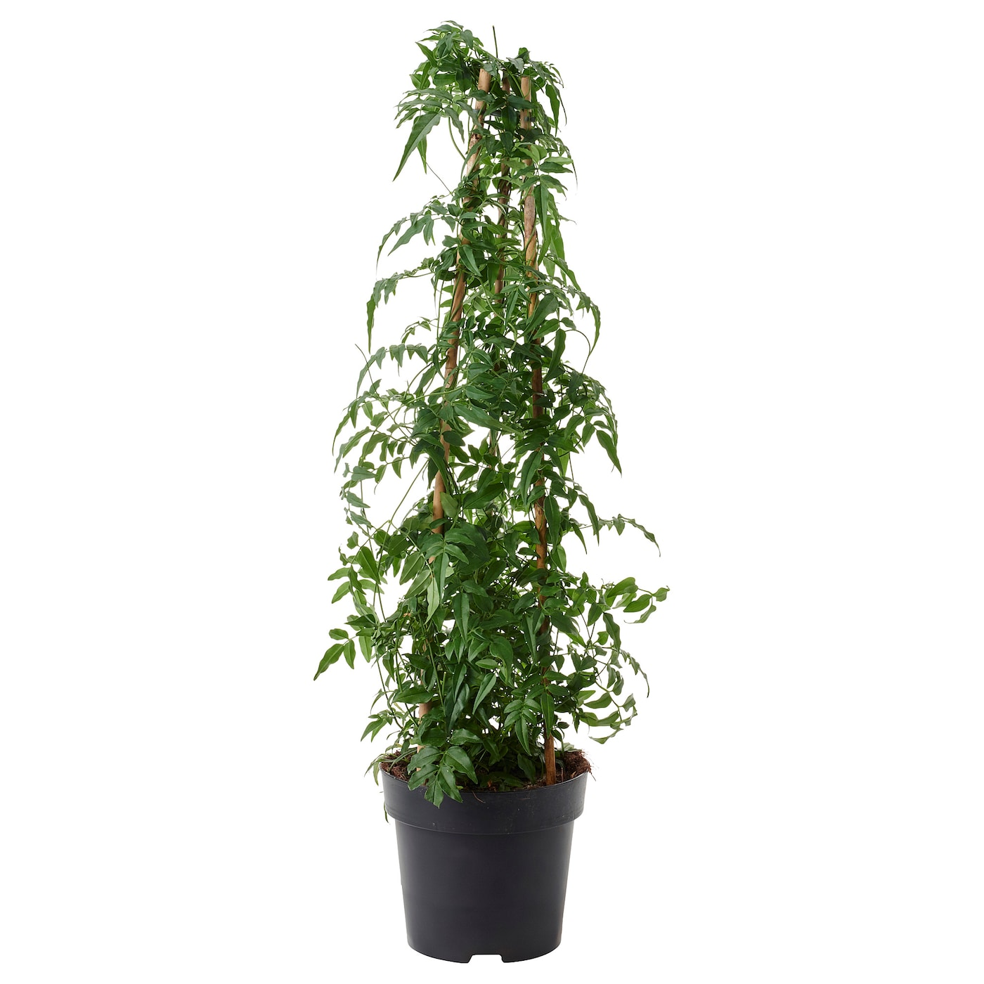 jasminum plante en pot jasmin 17 cm ikea. Black Bedroom Furniture Sets. Home Design Ideas