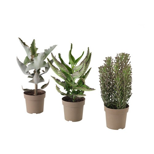 Kalanchoe madagascar plante en pot ikea - Plante interieur ikea ...