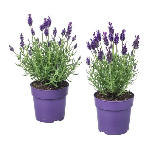 lavandula plante en pot diverses esp ces 12 cm ikea. Black Bedroom Furniture Sets. Home Design Ideas