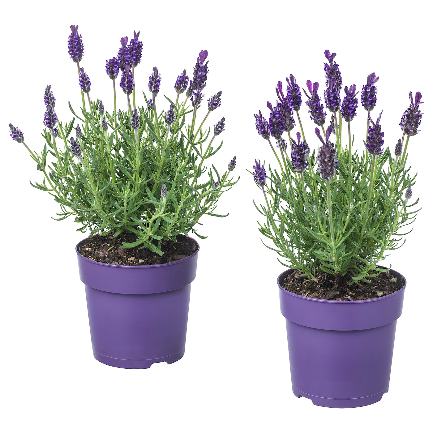 lavandula plante en pot diverses esp ces 12 cm ikea. Black Bedroom Furniture Sets. Home Design Ideas