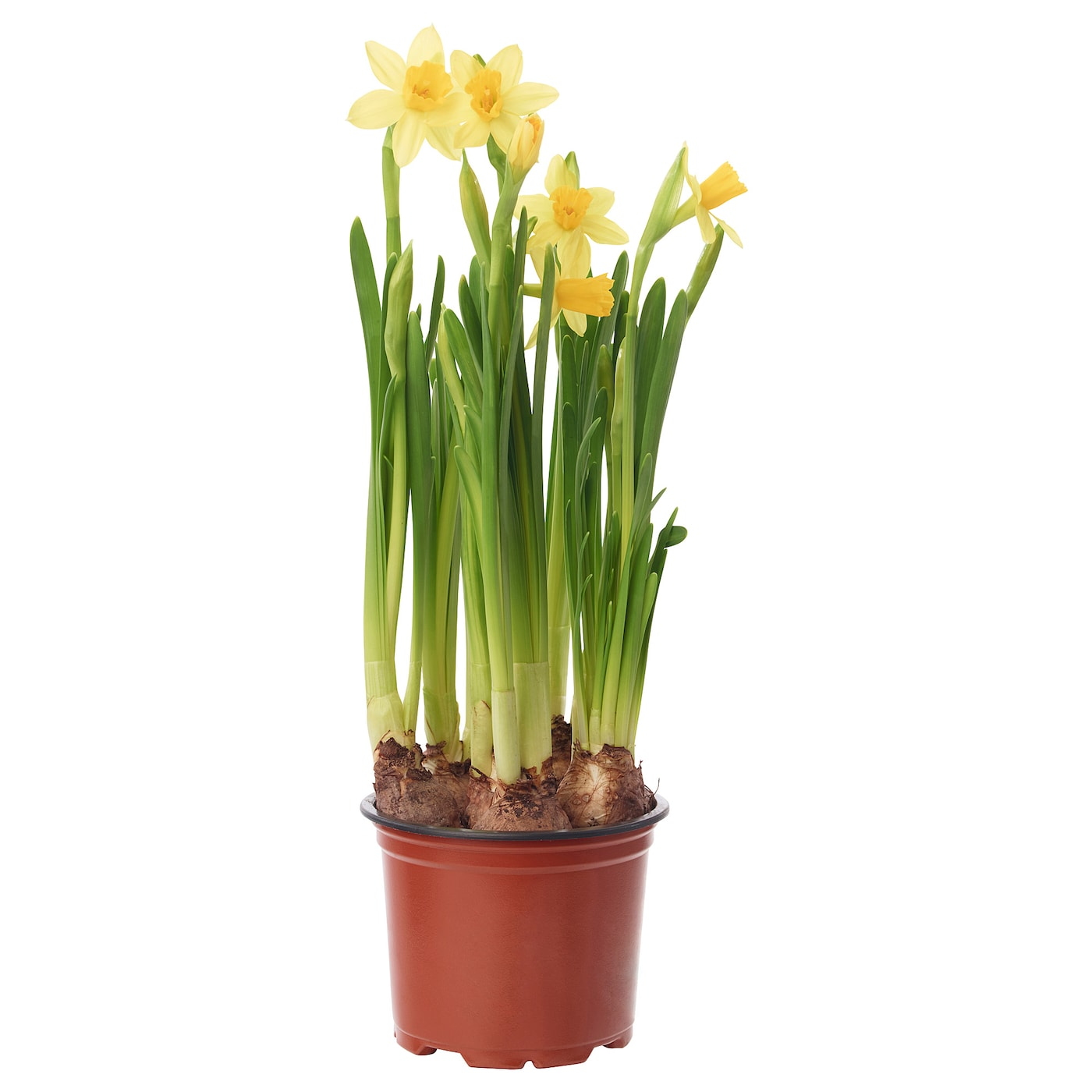 narcissus cyclamineus tete a tete plante en pot jonquille. Black Bedroom Furniture Sets. Home Design Ideas