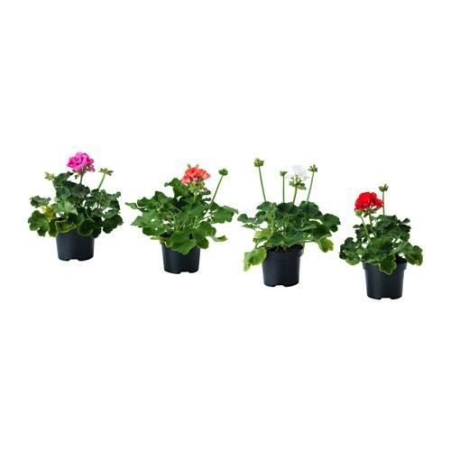 Pelargonium Plante En Pot Ikea