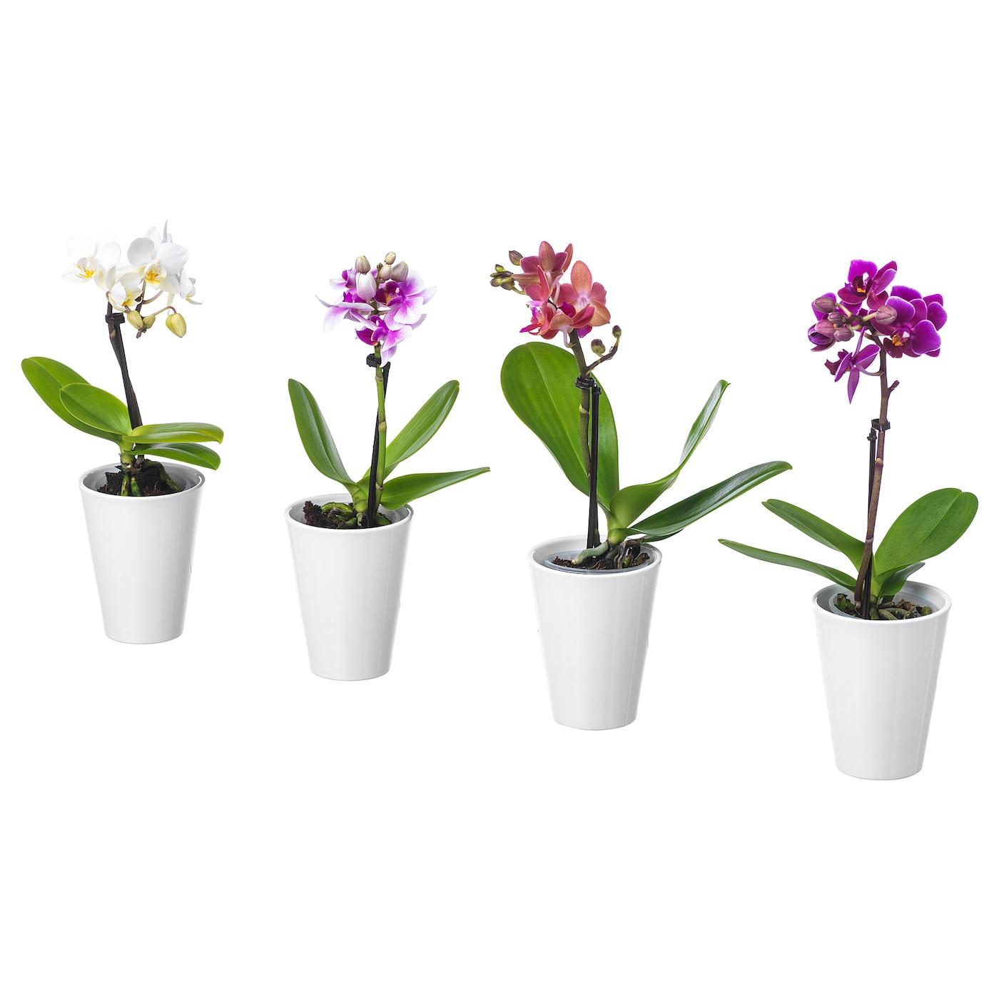 phalaenopsis plante avec vase orchid e coloris assortis 6 cm ikea. Black Bedroom Furniture Sets. Home Design Ideas