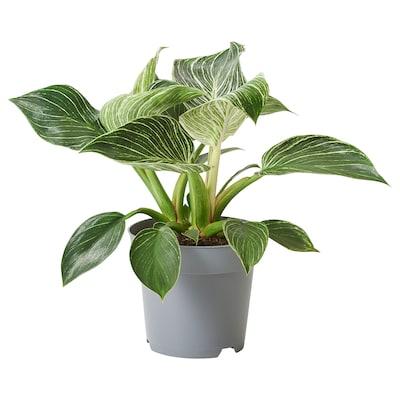 PHILODENDRON WHITE WAVE Plante en pot, 14 cm