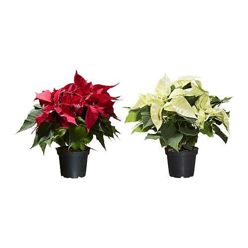 Poinsettia plante en pot ikea Plantes decoratives exterieur