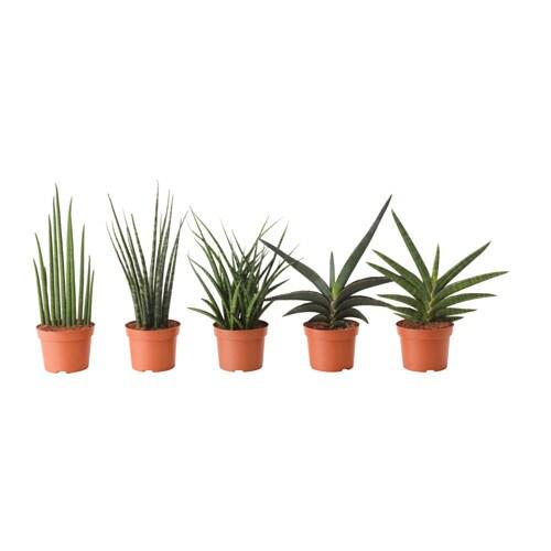 sansevieria plante en pot ikea. Black Bedroom Furniture Sets. Home Design Ideas