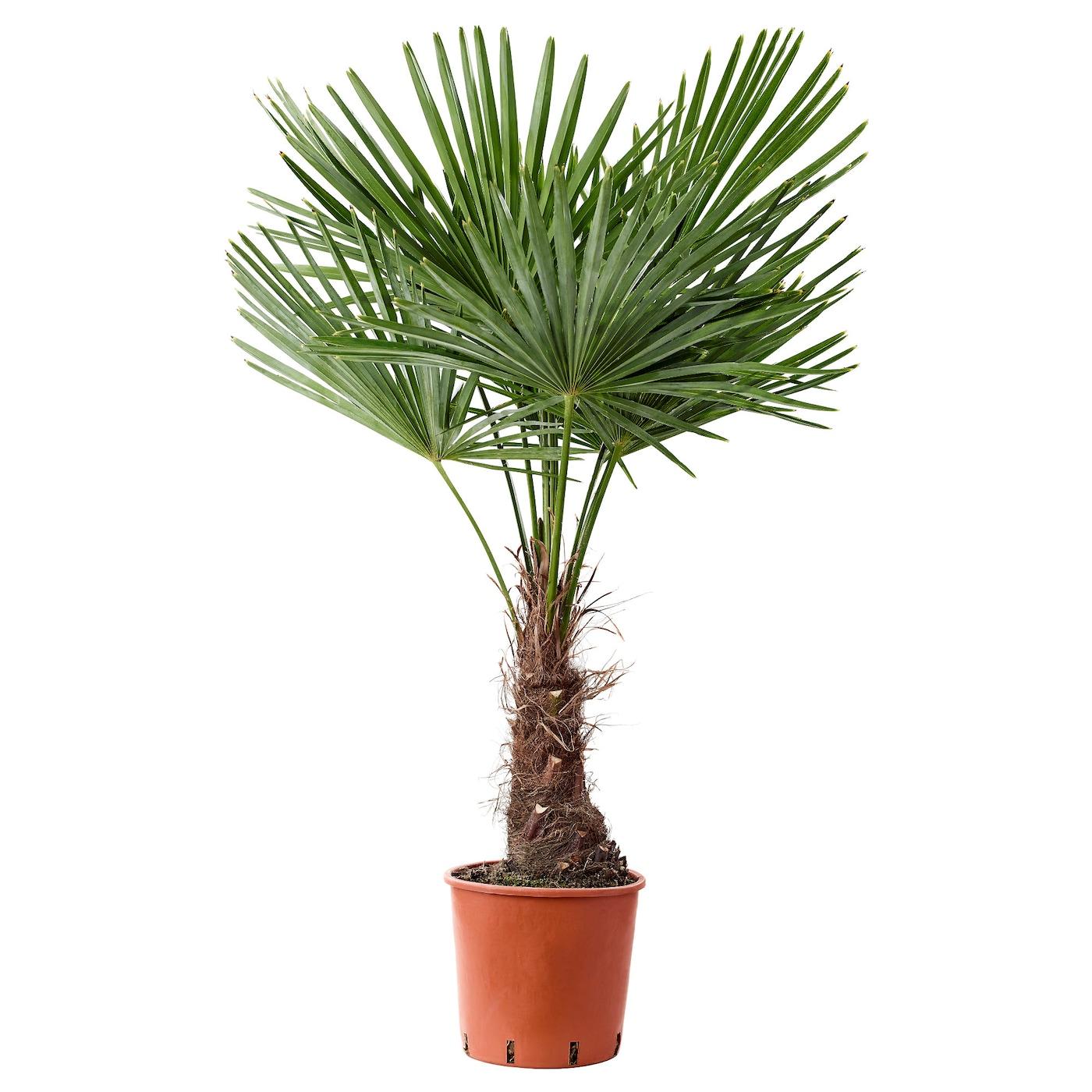 trachycarpus fortunei plante en pot palmier chanvre 27 cm ikea. Black Bedroom Furniture Sets. Home Design Ideas