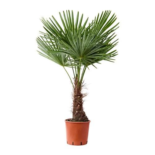 Trachycarpus fortunei plante en pot ikea - Ikea plante interieur ...