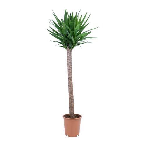Yucca elephantipes plante en pot ikea for Plante verte haute exterieur