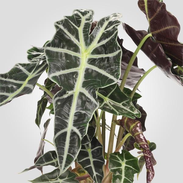 ALOCASIA AMAZONICA Potplant, Alocasia, 17 cm