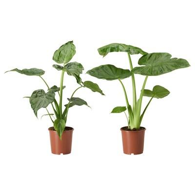 ALOCASIA Potplant, Alocasia/diverse soorten, 19 cm